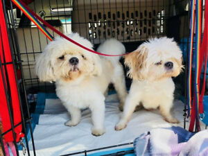 ROCKY AND CEASAR - SHIHTZU BROTHERS - DOGWAY DOG RESCUE SOCIETY