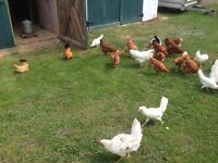 8 hen for sale