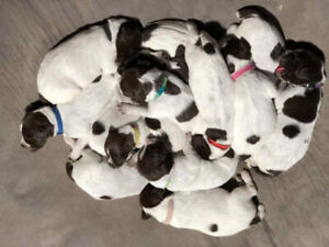Adopt Dogs & Puppies Locally in Sudbury | Pets | Kijiji Classifieds