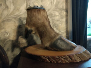 real moose hoof ashtray never used