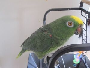 green amazon parrot/perroquet bird/oiseau with cage