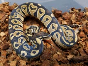 2018 Normal Ball Python Males