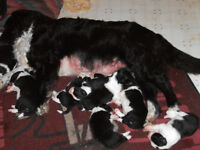 boarder collie pups