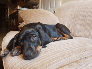 Catahoula Leopard Dog puppy