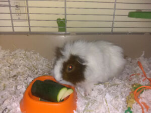 Guinea Pigs (Male) for Re-homing