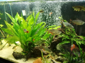 6 Buenos Aires tetras for sale