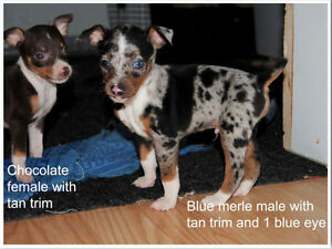 Purebred Rat Terrier Pups - 8 Left - Ready to go!!!