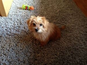 Rehoming: Morkie SOLD