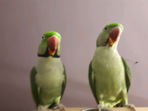 Wanted - Adult Female Alexandrian Parrot
