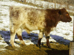 Registered Purebred Shorthorn Bulls