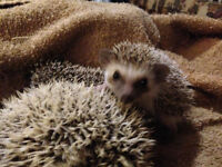 Baby Hedgehogs Available! - Reduced for quick sale!