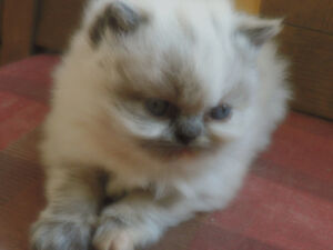 PURE TORTIE POINT PERSIAN GIRL NOW SOLD