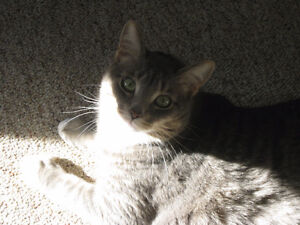 2 Indoor Declawed Adult Cats for Reholming
