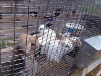 Lop cross bunnies for sale