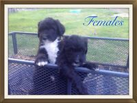 SHEEP-A-DOODLES Standard Poodle x Old English Sheepdog Puppies