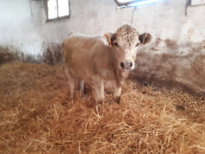 Heifers For Sale