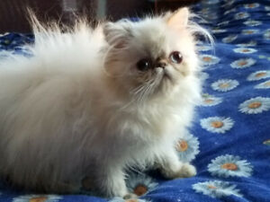 Beautiful Himalayan Tortie point color female kitten