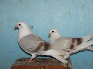 Pigeons voyageurs saddles