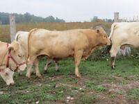 Charolais/Limo bull