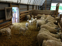 Sheep Herd.  Rideau Arcott ewes and Charollais Ram with lambs