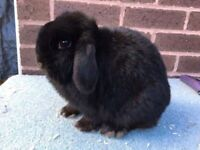 Mini lop does