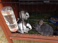 Rabbits dwarf