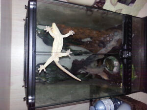 MALE CRESTED GECKO AND EXO TERRA TERRARIUM WITH ALL SUPPLIES