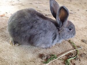 Havana Cross Rabbits For Sale