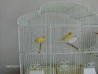Yellow Canaries 45.00 each