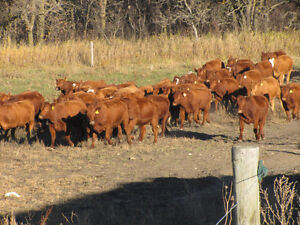 Bred heifers
