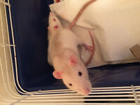 Pet Rats Available for Adoption - Rattitude Rat Rescue