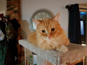 Missing long-haired orange cat