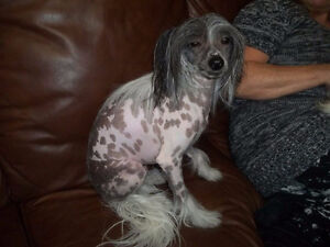 Lost Chinese Crested in Brockville