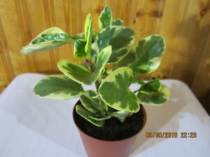 Baby Rubber Plant Variegata