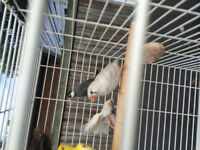 Lots zebra society and java finches for sale