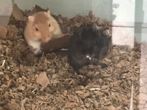 Rehoming three adorable male gerbils