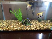 Angel Fish and 10 Gallon Tank for Sale