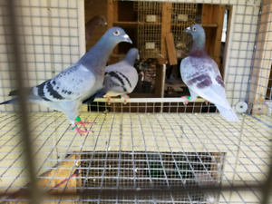 Racing and Fancy Pigeons