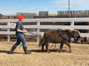 pony/harness/sled for sale