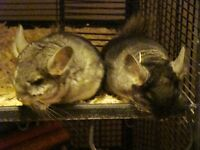 Two 2 1/2 Month old Male Chinchillas