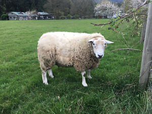 FOR TRADE:  3 Yr Old Purebred Texel Ram