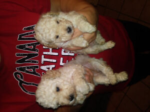 Have 2 miniature poodles to put in good homes