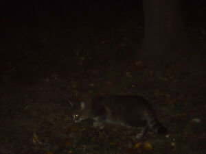 Grey Black Tabby Found Windsor Region Ontario image 1
