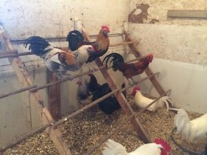 14 five month old roosters