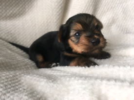 Male and female yorkshire terrier puppies ready now