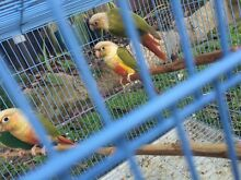 Baby pineapple conures Kellyville The Hills District Preview
