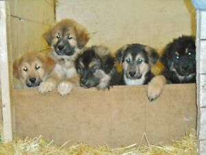 German Shepherd X Maremma x Anitolian Shepherd Puppies