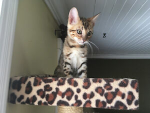 Top quality bengal