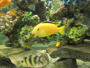 VARIETY OF FISH FOR REHOMEING MOSTY AFRICAN CICHLIDS