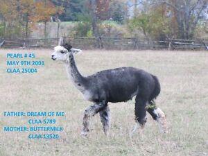 Alpacas for sale Herd liquidation Peterborough Peterborough Area image 10